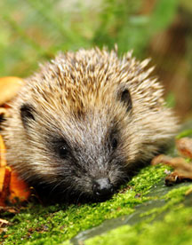 A Photo of a hedgehog