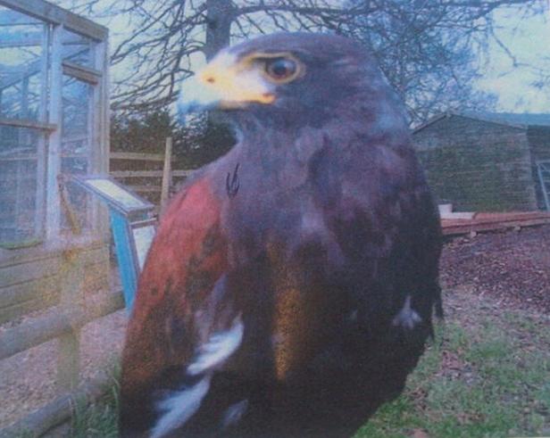 Photo of Prince the Harris Hawk