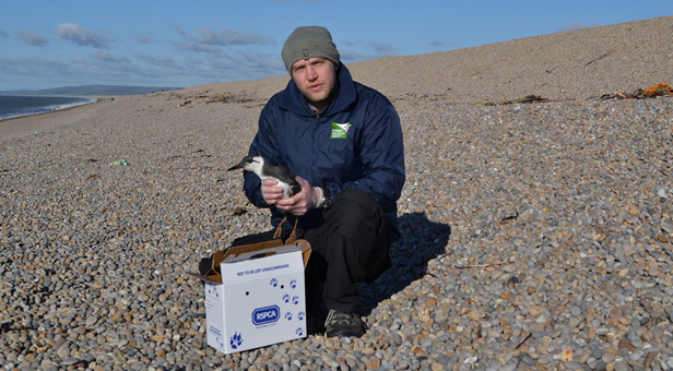 Marc Smith (DWT Chesil Centre Officer) with Guillemot