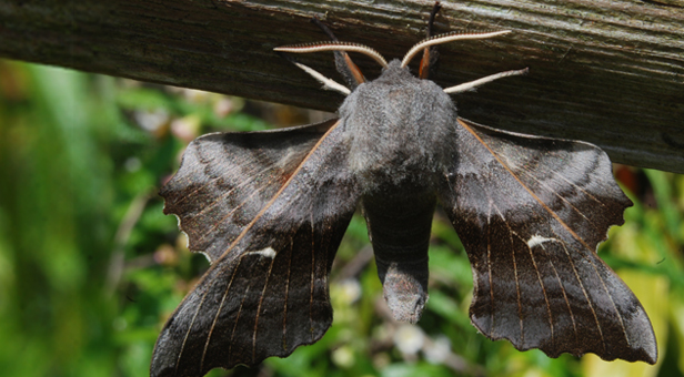 Hawk Moth © Felix Littlechild, age 14 – Winner