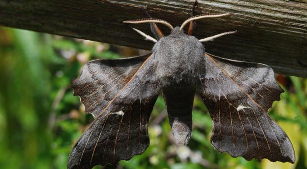 Hawk Moth © Felix Littlechild, age 14 – Winner