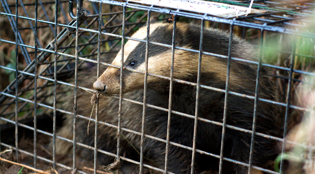 A badger ready to be released after vaccination.  All traps were clearly labelled so members of the public could contact DWT for more information.  By Sam Stewart.