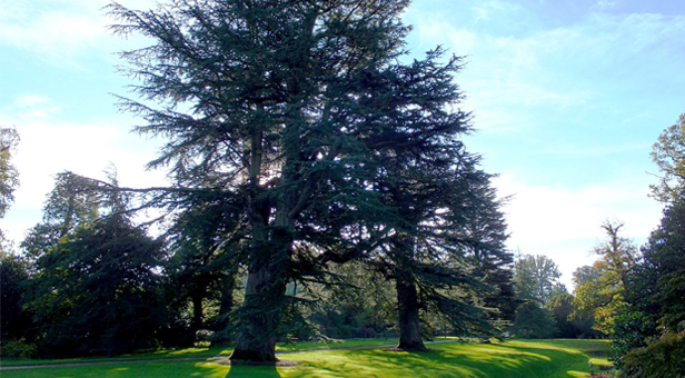 The cedar tree at Kingston Lacy © National Trust