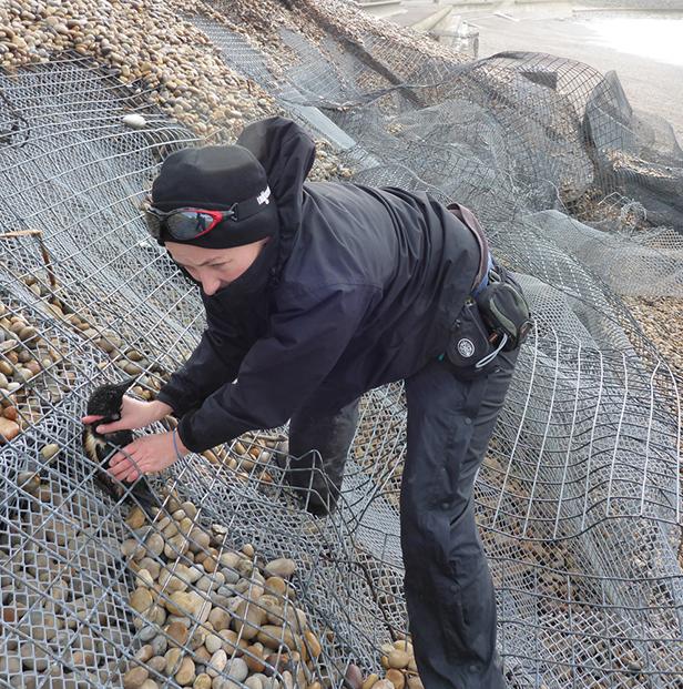 Angela Thomas rescuing Razorbill from gabion on Chesil Beach