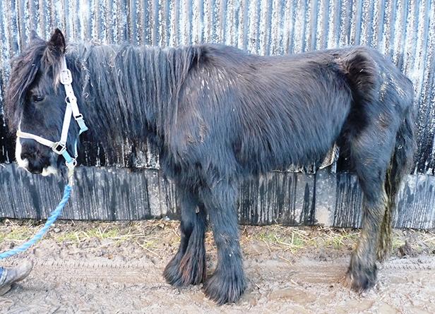Peggy a black mare