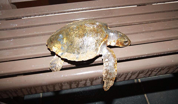 Warm water Kemp's ridley turtle