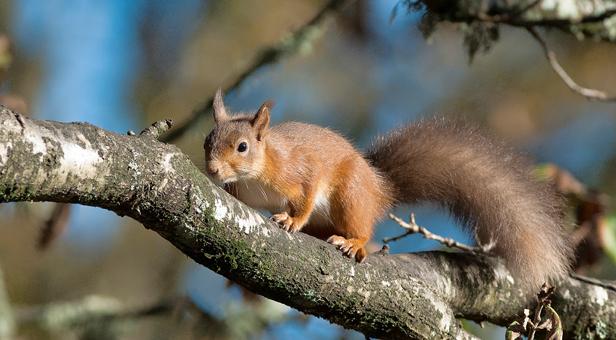 Red Squirrel on Brownsea Island © Stewart Canham