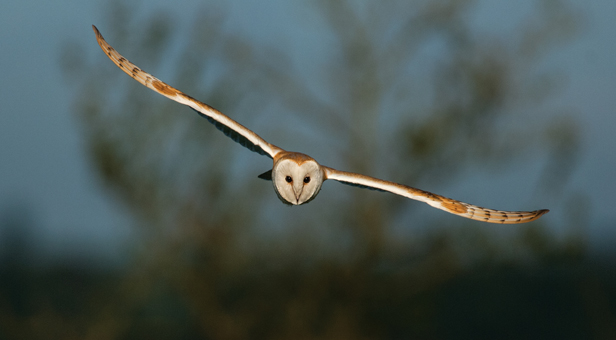 Rare Chance To See Threatened Barn Owls On Webcam