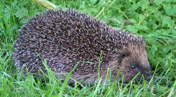 Hedgehog in grass © Richard Burkmar