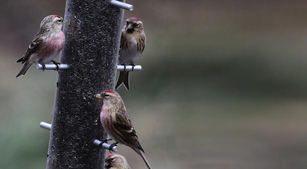 Redpoll birds on a bird feeder © Ken Dolbear, MBE