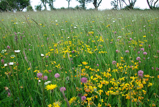 A managed and species-rich grassland SNCI in West Dorset