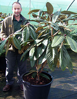 The-Large-Leaved