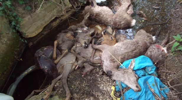 Deer carcasses, found at Randalls Hill near Lytchett Minster