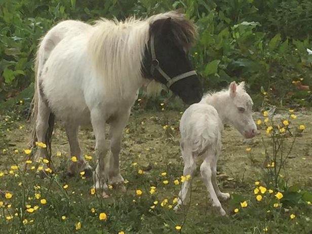 Mini horse and foal