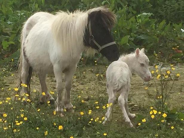 Mini horse and foal