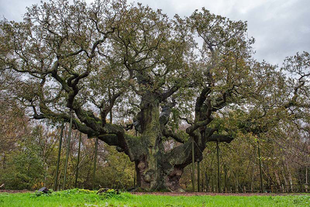 Last year's England Tree of the Year, the Major Oak