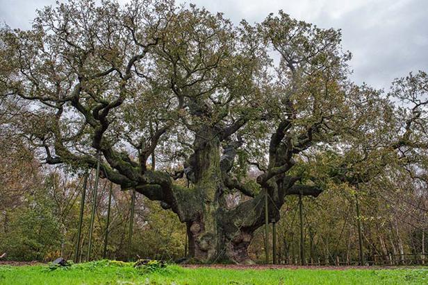 Last year's England Tree of the Year, the Major Oak