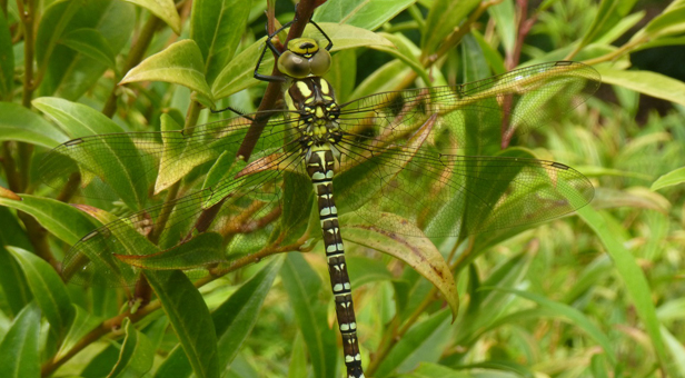 Southern Hawker dragonfly – credit K Wilkinson
