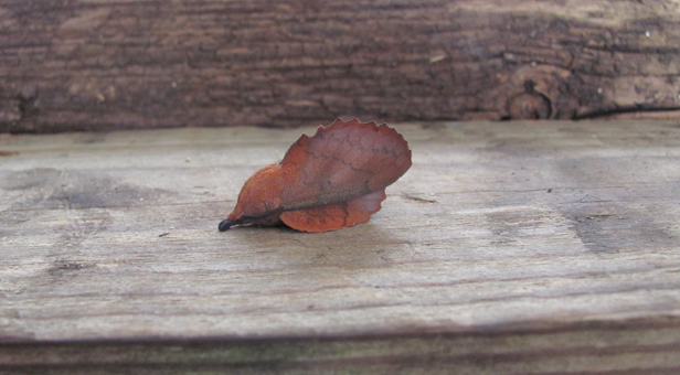 Lappet moth © Mike Cook