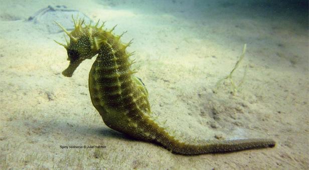 Spiny seahorse sighting at Studland Bay © Julie Hatcher