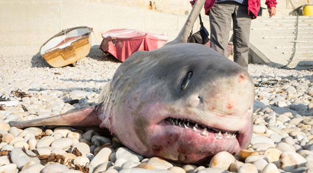 Porbeagle shark © Chesil Beach Watch