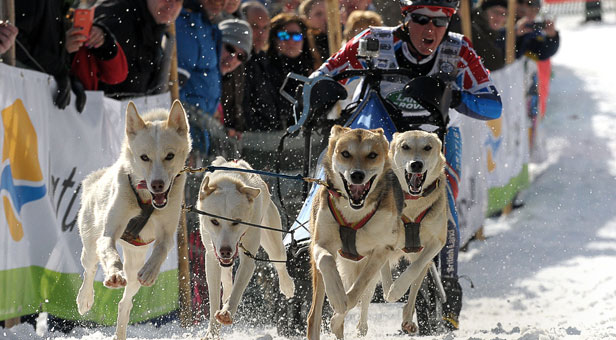Team GB member Vickie Pullin with huskies, Yukon, Delta, North and Elmer. Meet Vickie and the huskies at Moors Valley Country Park, near Ringwood on 12–13 December – booking essential.