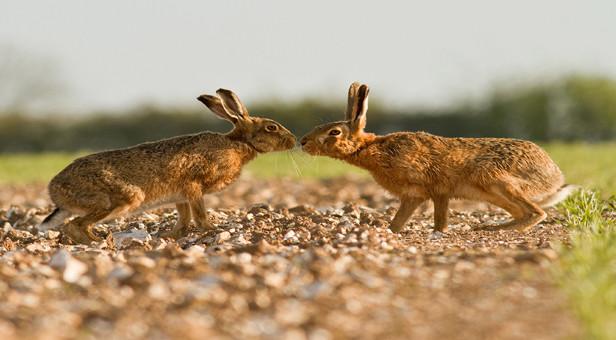 Hares © John Palmer