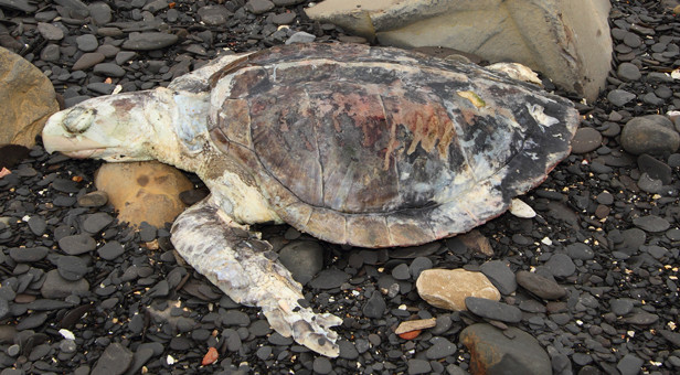 Washed-up-Kemp-Ridley-Turtle