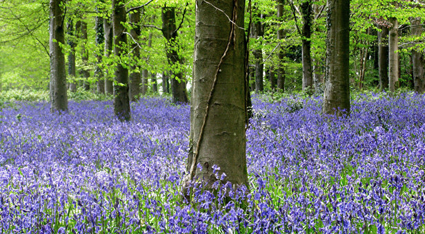 Bluebells in Great Coll Wood, Winterborne Tomson