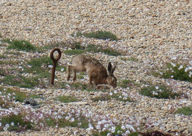 Hare © Angela Thomas