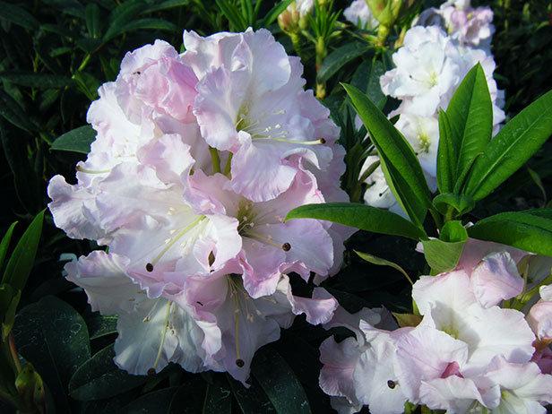 Knolls Gardens Rhododendron Jungfrau