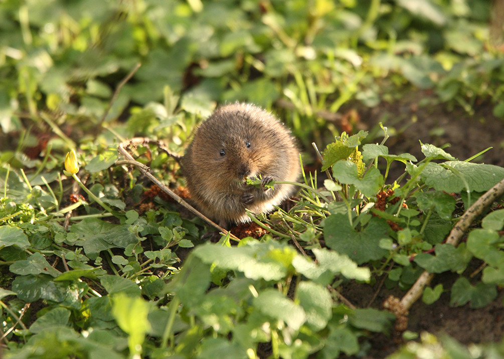 The elusive water vole. Photo by Iain Green