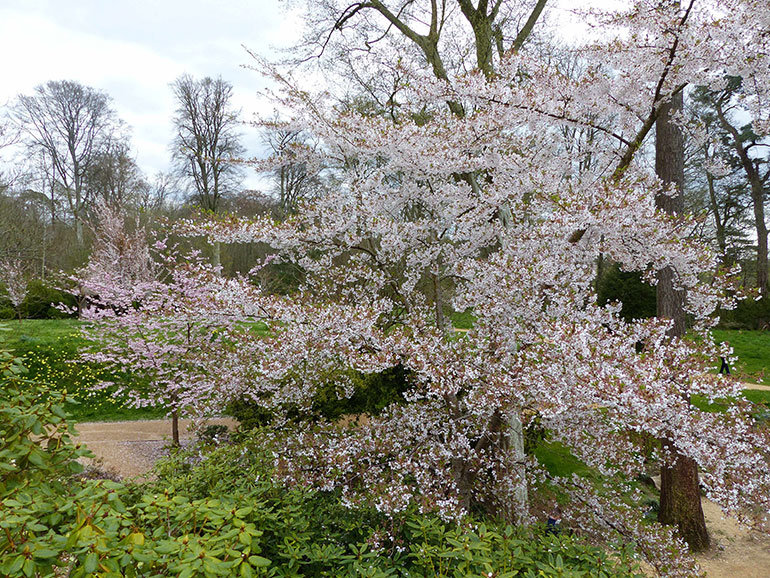 Tai-Haku Blossom at Kingston Lacy