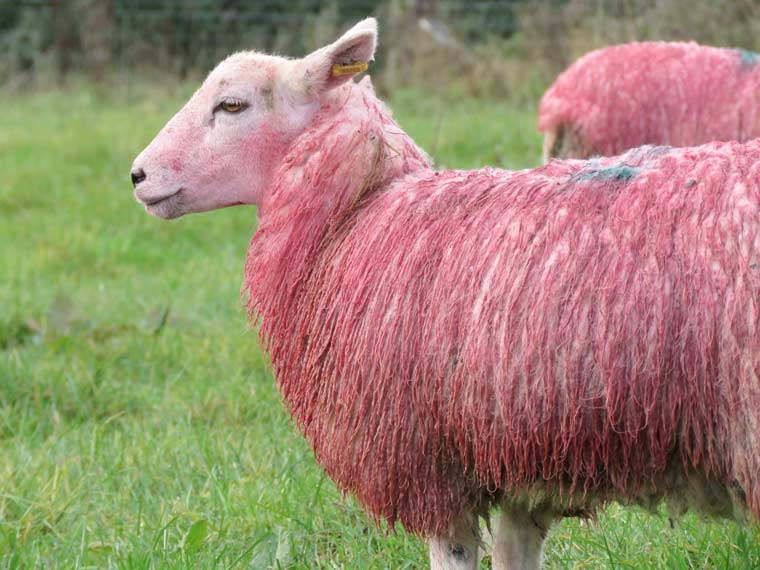 Feeling sheepish - a flock of sheep in Gillingham have been dyed pink in a tribute to breast cancer awareness month