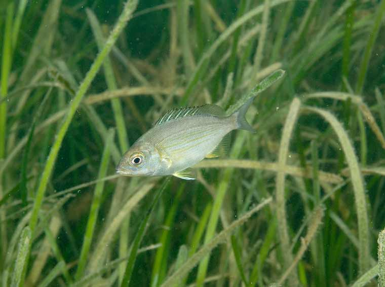Juvenile black bream in Studland Seagrass – Paul Naylor