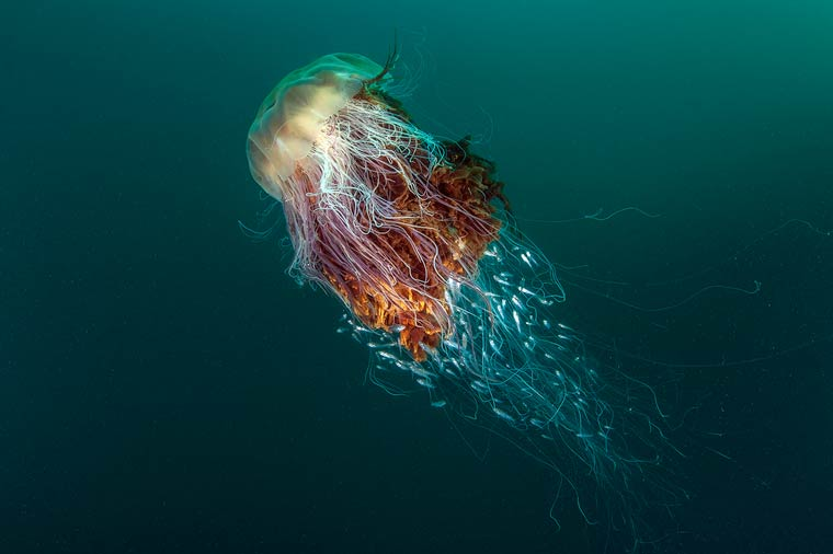 "Coast and Marine winner and overall winner: ""Hitchhikers"" lion's mane jellyfish. Photograph credited to George Stoyle and BWPA"