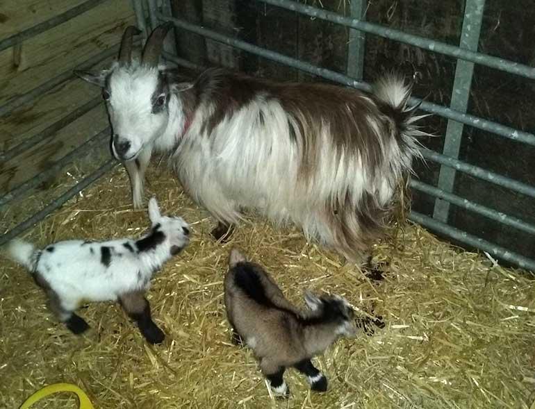 Stolen: the three distinctive Nigerian dwarf goats