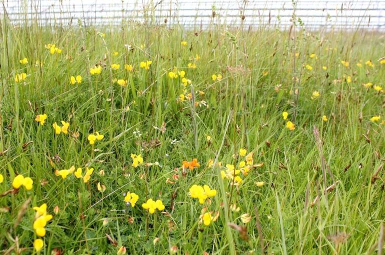 SAVED FOR FUTURE GENERATIONS-Rampisham Down - typical acid grassland flora