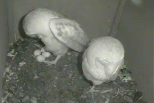 Barn owls on Dorset Wildlife Trust webcam