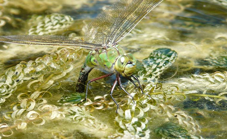 Female Emperor dragonfly egg laying