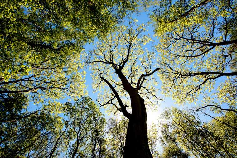 The beautiful ash tree could soon disappear