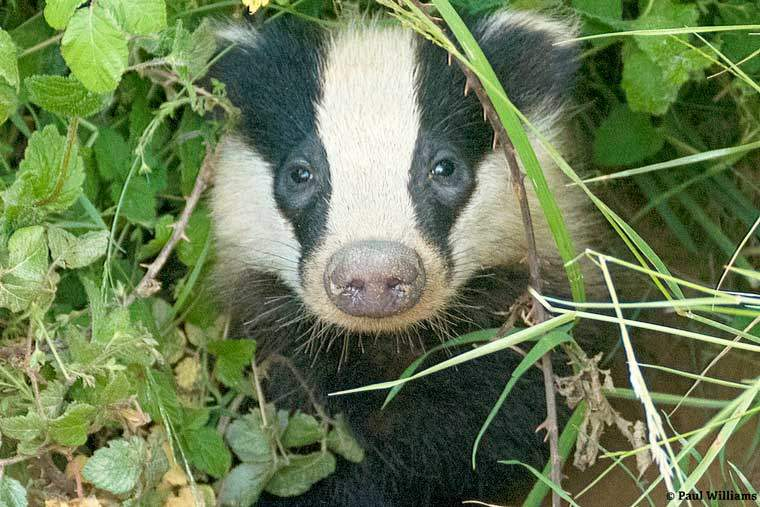 Over 9,000 badgers could be killed this year in Dorset