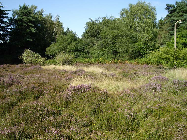 Heathland at St Leonards in Dorset