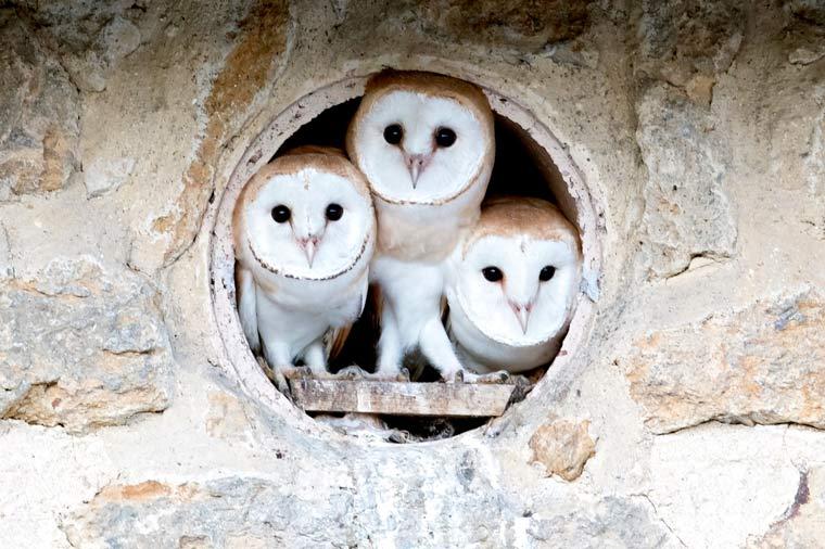 £20K needed to help ensure survival of barn owls