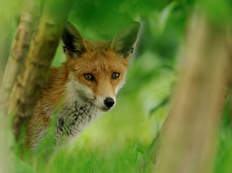 Living with Mammals survey – fox