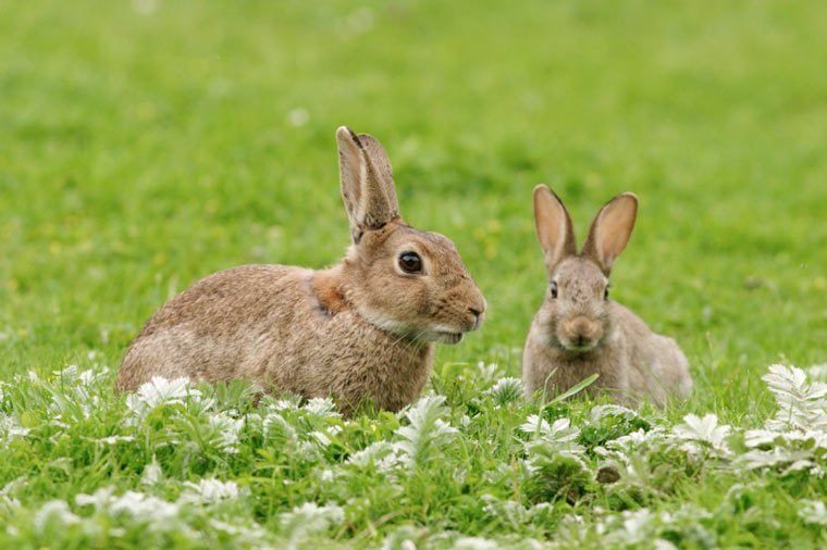 Living with Mammals survey – rabbits