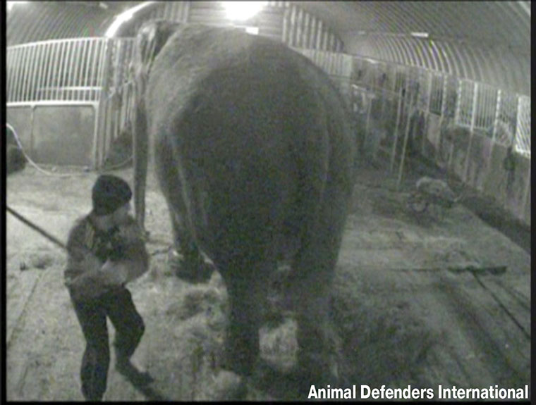 Circus elephant Anne