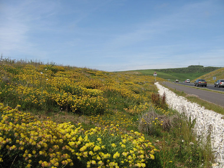Weymouth Relief Road wildflower verges