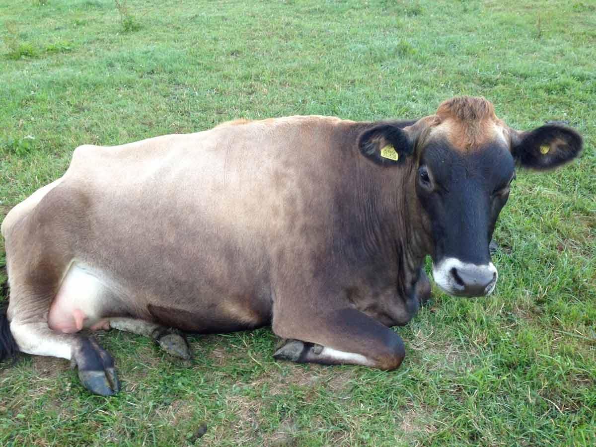 International cow appreciation day celebrates supermoo-del Queenie in North Dorset