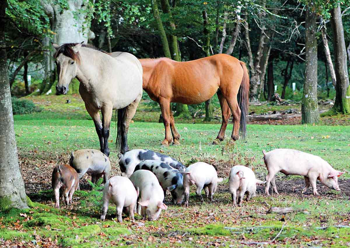 Pigs roam the New Forest every Autumn in the ancient practice of pannage, in which they feed on fallen acorns and nuts